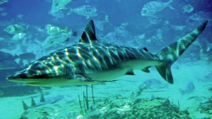Dusky_shark_seaworld_by_shishihenge