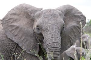 Elephant Mister-E