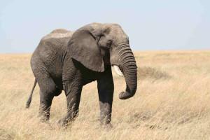 Elephant guido da rozze
