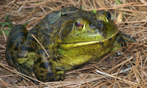 Frog_by_DavidWagner