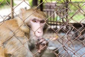 Monkey lin2867