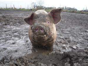 Pig Duncan Hull