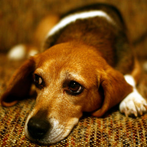 Sad-beagle-dog-by-Martin-Cathrae