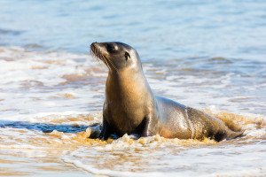 Sea Lion Diego Delso
