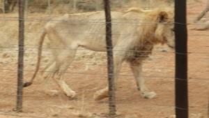 Starving_Lion_Drew_Abrahamson