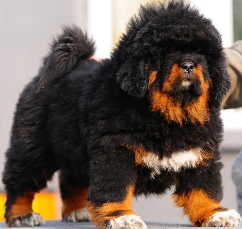 put an end to the high value sale of dog breeds forcechange. Black Bedroom Furniture Sets. Home Design Ideas