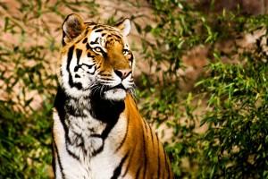 Tiger hanna_boehm0