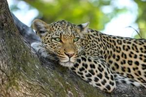 leopard-by-designerpoint