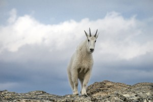 mountain-goat-by-skeeze