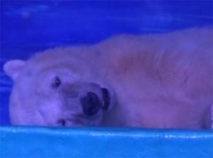 saddest-polar-bear-in-the-world