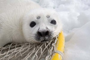 A ribbon seal pup (probably 5 days old and 15kg) rests while researchers finish sampling his mother.