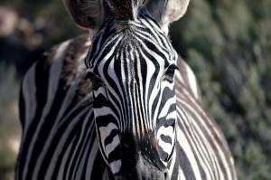 zebrascloseup
