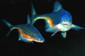 bonytail chub or bonytail Gila elegans cyprinid freshwater fish