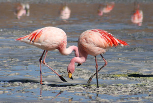 Flamingos_by_Valdiney_Pimenta
