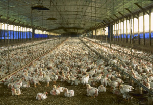 Florida_chicken_house_by_Larry_Rana