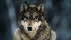 Gray Wolf Isster17