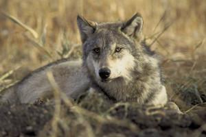 Grey_Wolf_by_USFWS
