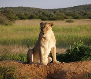 Okonjima_Lioness_by_Falense