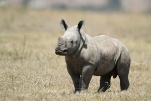 Rhino Valentina Storti