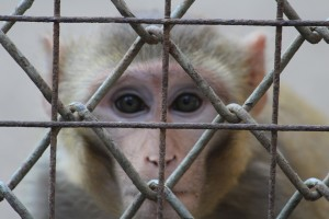 caged-baboon-by-PDPics