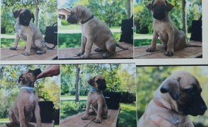 puppies-by-Kendal-County-Sheriffs-Department