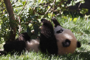 Baby_Giant_Panda_by_fortherock