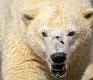 polar-bear-by-tambako-the-jaguar