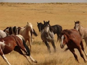 Wild_Horses_by_BLM
