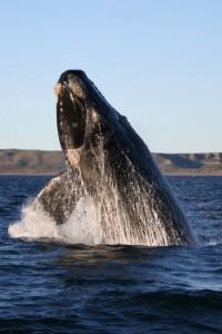 right-whale-by-Michael-Catanzariti