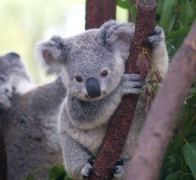 654px-cutest_koala-erik-veland