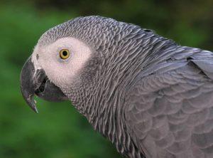 african_grey_parrot_by_l-_miguel_bugallo_sanchez