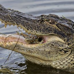Stop Mutilation of Alligators in Florida