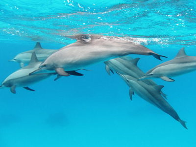 dolphins-by-alexander-vasenin