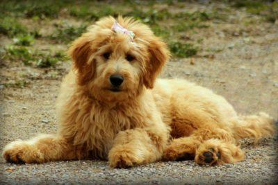 goldendoodle-godsgirl_madi