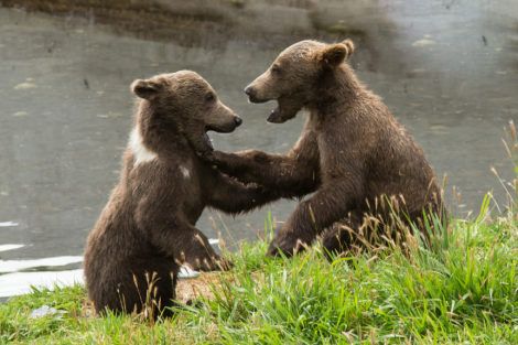 kodiak_brown_bears_by_lisa_hupp