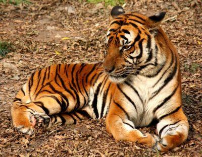 tiger-j-patrick-fischer