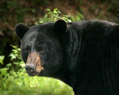 big-black-bear-detailed-ursus-americanus-680x544-steve-hillebrand