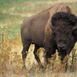 Punish Official Who Shot the First Wild Bison Seen in Germany in 250 Years