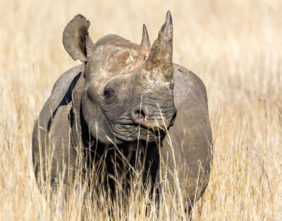 black-rhino-by-gerry-zambonini