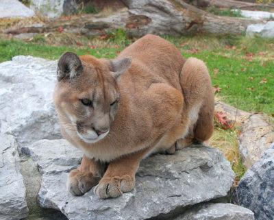 cougar_25_greg_hume