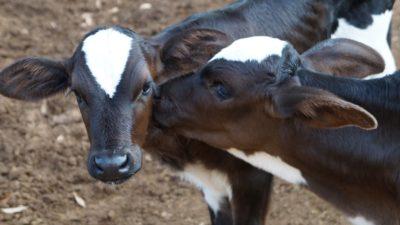 cows-guilhermedentista