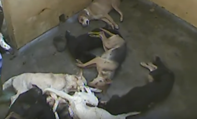 dogs-killed-republic-of-mauritius-screenshot-from-youtube-video-by-peta-uk