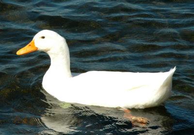 duck-brandon-weeks