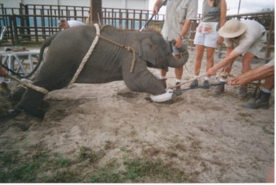 elephant-training-peta