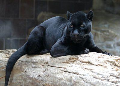 jaguar-cburnett