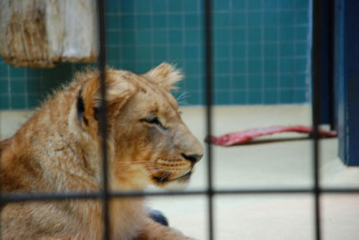 lion-by-trine-juel
