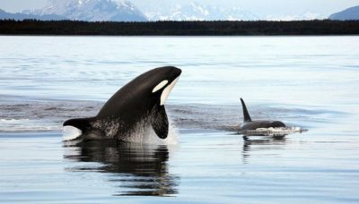 orcas-jumping-from-water-by-christopher-michel