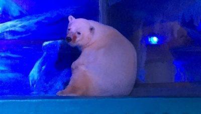 saddest-polar-bear-animals-asia