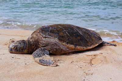 sea-turtle-by-bernard-spragg-nz