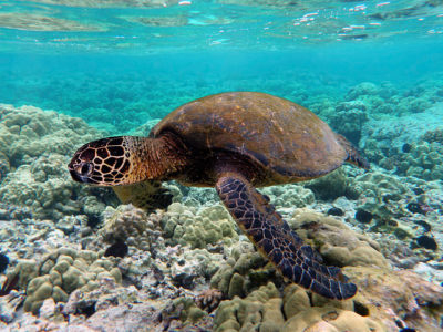 sea-turtle-by-brocken-inaglory